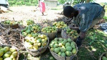 un fruit sans pareil, mangue Haitienne.