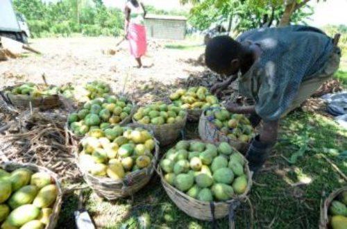 Article : La mangue d'Haiti, une réputation internationale!