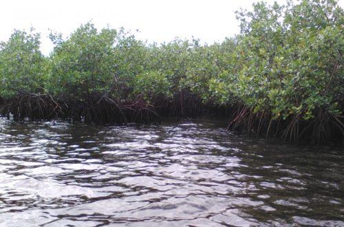 Article : Au parc National des Trois Baies, des ONG locaux volent au secours des mangroves